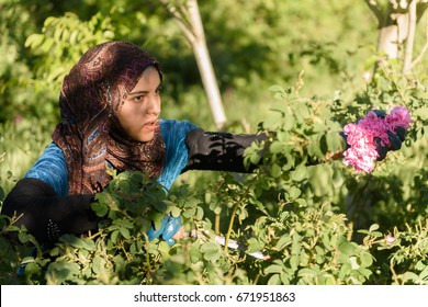 KALAAT M'GOUNA, MOROCCO - MAY 12, 2017:unidentified young woman  harvesting the damaschena rose near  Kalaat M'Gouna. Roses are used for extracting essences and women are payed 16 Dirham per Kilo