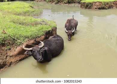 Kalabaw-carabao Filipino domestic water buffaloes in a pond to cool themselves from the heat of the day. Malinag lagoon area-Cabadiangan barangay-Sipalay-Negros Occidental-Western Visayas-Philippines.