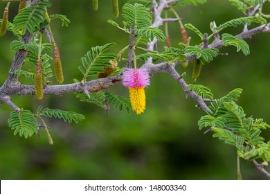 Kalahari Christmas tree A pink and yellow flower hanging from a Kalahari Christmas tree or Sicklebush