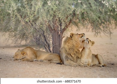 Kalahari Desert Lions (Felis leo)  rest in the shade of a camelthorn tree in the heat of the day.