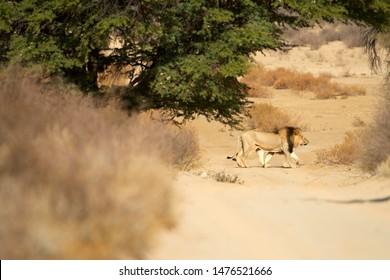 Kalahari lion, Panthera leo vernayi, walking on sandy road in typical environment of Kalahari desert. Big lion male with black mane in sunny hot day. Sideview, low angle. Kgalagadi  park, Botswana.