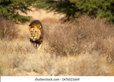 Kalahari lion, Panthera leo vernayi, walking in typical environment of Kalahari desert. Big lion male with black mane in sunny hot day. Direct view, low angle. Kgalagadi transfrontier park, Botswana