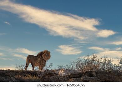 Kalahari lion, Panthera leo vernayi, walking on the ridge of Nossob valley. Lion in Kalahari desert. Big lion male with black mane against blue sky with clouds. Traveling Kgalagadi, Botswana.