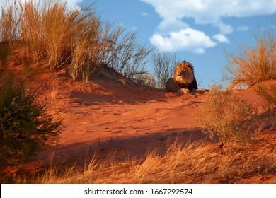 Kalahari lion, Panthera leo vernayi, laing on red dune against blue sky. Big lion male with black mane in typical environment of Kalahari desert. Kgalagadi transfrontier park, Botswana