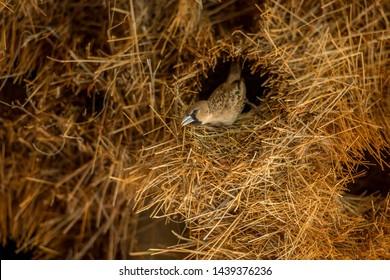 Kalahari, South Africa, January 2015: Sociable Weaver bird