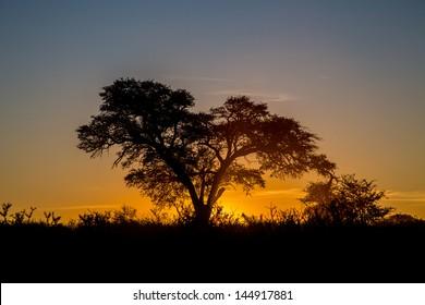 Kalahari sunset The sun setting behind a big camel thorn tree in the Kalahari