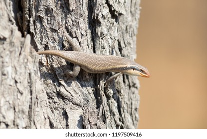 Kalahari tree skink (Trachylepis spilogaster) on a tree
