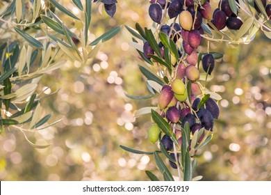 Kalamata olives ripening on olive tree with blurred background
