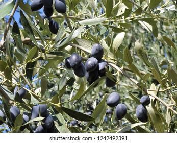 kalamata olives in the tree, olive tree, black olives, kalamon