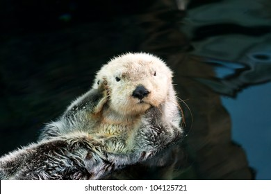 Kalan (sea otter) floats on the back and covers his ears paws