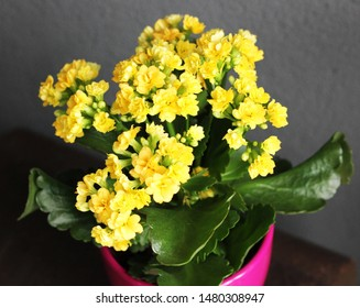 a Kalanchoe blooming yellow flowers