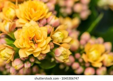 Kalanchoe blossfeldiana beautiful bushy plant with yellow flowers background