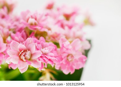 Kalanchoe blossfeldiana, commonly cultivated house plant.