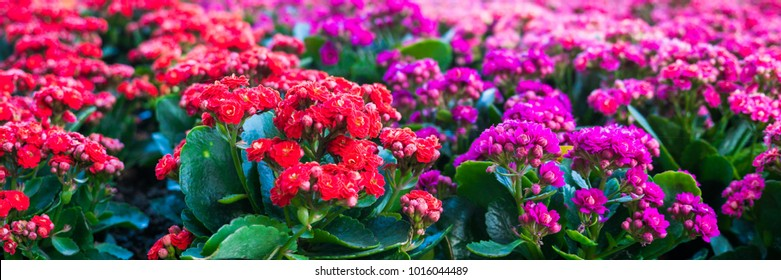 Kalanchoe blossfeldiana (Flaming Katy, Christmas Kalanchoe, Florist Kalanchoe) red and pink flowers, family Crassulaceae