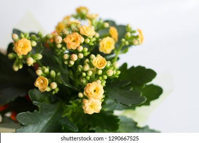 Kalanchoe blossfeldiana (flaming Katy, Christmas kalanchoe, florist kalanchoe, widow's-thrill) with yellow flowers