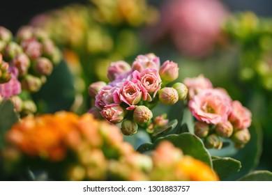 Kalanchoe blossfeldiana (Flaming Katy, Christmas Kalanchoe, Florist Kalanchoe) red and pink flowers, family Crassulaceae,Selective focus. Lights and shadows.