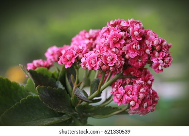 Kalanchoe blossfeldiana (Flaming Katy, Christmas Kalanchoe) pink flowers, family Crassulaceae