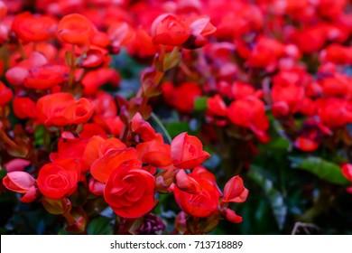 Kalanchoe blossfeldiana (Flaming Katy, Christmas Kalanchoe, Florist Kalanchoe) red flowers, family Crassulaceae