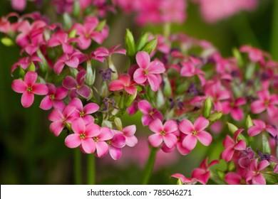 Kalanchoe blossfeldiana (Flaming Katy, Florist Kalanchoe) pink flowers, family Crassulaceae. Colorful small pink flowers of Kalanchoe close-up. Beautiful bright kalanchoe succulent plant. Soft focus.