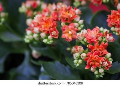 Kalanchoe blossfeldiana (Flaming Katy, Florist Kalanchoe) orange flowers, family Crassulaceae. Colorful small flowers of Kalanchoe close-up. Beautiful bright kalanchoe succulent plant. Soft focus.