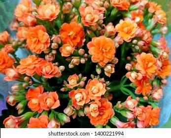 Kalanchoe blossfeldiana (Flaming Katy plant, Florist Kalanchoe herb) coral orange flowers background pattern. Colorful small Kalanchoe flowers closeup. Beautiful succulent plant coral flowers in pot