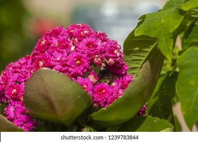 Kalanchoe blossfeldiana is a herbaceous and commonly cultivated house plant of the genus Kalanchoe native to Madagascar. It is known by the English common names flaming Katy, Christmas kalanchoe...