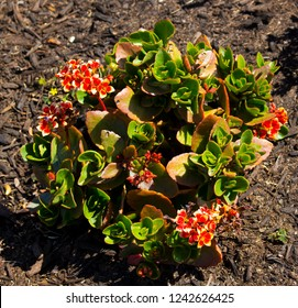 Kalanchoe blossfeldiana is a herbaceous  house plant of genus Kalanchoe native to Madagascar known by  English names flaming Katy, Christmas kalanchoe, florist kalanchoe , Madagascar widow's-thrill.
