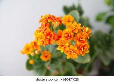 Kalanchoe blossfeldiana with orange flowers