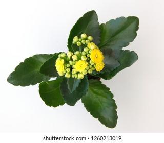 Kalanchoe, Kalanchoe blossfeldiana plan with yellow flowers, on white backgroun