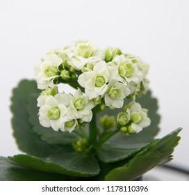Kalanchoe blossfeldiana plant with green flowers