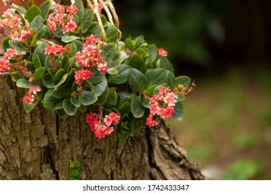 Kalanchoe blossfeldiana plant on a tree trunk in a garden.