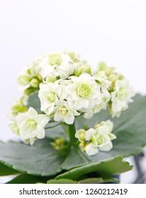 Kalanchoe, Kalanchoe blossfeldiana plant,  on white background