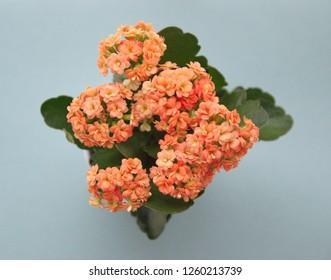 Kalanchoe, Kalanchoe blossfeldiana plant with orange flowers