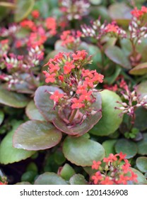 Kalanchoe blossfeldiana Poelln, Flaming Katy, Christmas Kalanchoe. Herbaceous with red flowers.