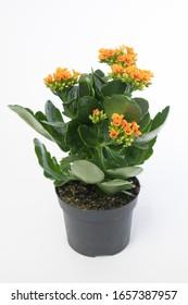 Kalanchoe blossfeldiana Tiger Single Orange