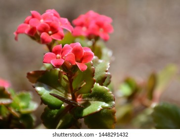 Kalanchoe with buds. Flaming Katy plant.  Christmas kalanchoe, florist kalanchoe, Madagascar widow's-thrill. Popular pot flowers with medicinal properties. Clusters of small, succulent flowers.
