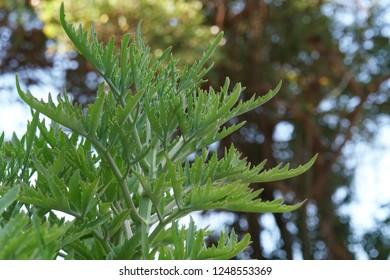 Kalanchoe ceratophylla or laciniate Kalanchoe herb