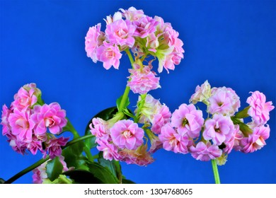 Kalanchoe flower tropical plant on creative sky blue background. Kalanchoe is popular as an indoor ornamental plant, has medicinal properties.
