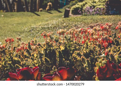 Kalanchoe flowers (Kalanchoe daigremontiana) on garden