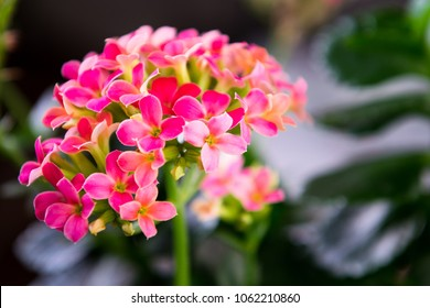 Kalanchoe flowers are popular pot flowers with medicinal properties. Pink flower background. Close up