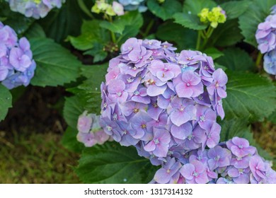 Kalanchoe in garden is normal name and Family is Crassulaceae and Species is Kalanchoe blossfeldiana