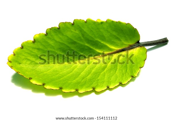Kalanchoe leaves