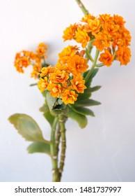Kalanchoe plant with orange flowers, Kalanchoe blossfeldiana