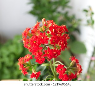 Kalanchoe plant with red flowers, Kalanchoe blossfeldiana