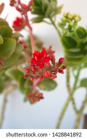 Kalanchoe plant with red flowers, Kalanchoe blossfeldiana