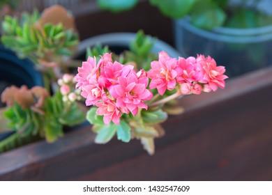 Kalanchoe plant with red flowers, Kalanchoe blossfeldiana on white background