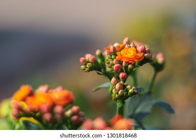 Kalanchoe,Kalanchoe blossfeldiana in bloom