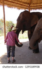 KALAW, BURMA - FEB 27, 2015 - Elephants in a  retirment camp for former working animals (Elephas maximus indicus),  Elephant conservation camp near Kalaw Myanmar (Burma)