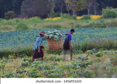 Kalaw highlands, Myanmar - November 18 2019: Local farmers harvesting cauliflower in the highlands around Kalaw and Inle Lake, Myanmar.