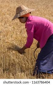 Kalaw. Myanmar. 02.05.13. Burmese women harvesting a crop of wheat in the countryside near Kalaw in Myanmar (Burma).